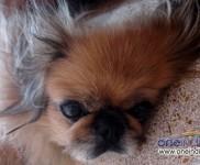 Koko - Pekingese - Chinese Breed