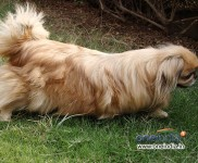 Koko - Pekingese - Chinese Breed
