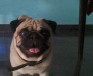 The Pug Named Popu