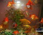 Types Of Goldfish For Your Aquarium
