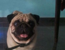 The Pug Named Popu Photos