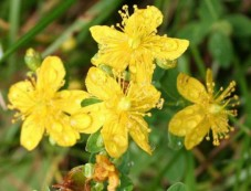 Try Herbs To Quit Smoking St. John's wort Photos