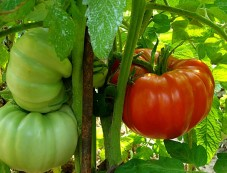 Vegetables To Grow In Winter Garden Tomatoes Photos