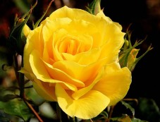 Gardening Tips For Yellow Rose Plants Photos