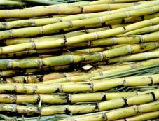 Significance Of Sugarcane Harvest Festival Photos