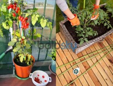 Gardening Tips For Cherry Tomatoes Photos
