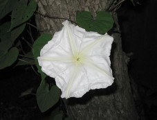 Moon Flowers Photos