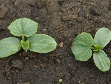 Planting Cucumber Seeds In Containers Tips Photos