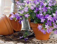 Plant Flowers in Clusters Photos