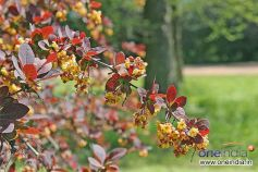 10 Garden Plants With Red Leaves