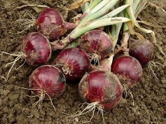 How To Plant An Onion Garden