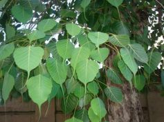 Significance Of Peepal Tree In Hinduism