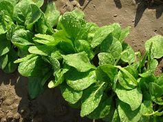 Spinach Vegetables To Grow In Winter Garden