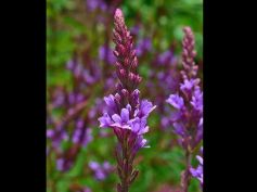 Try Herbs To Quit Smoking Blue vervain