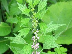 Try Herbs To Quit Smoking Motherwort