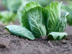Vegetables To Grow In Winter Garden Cabbage