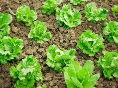 Vegetables To Grow In Winter Garden Lettuce