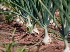 Vegetables To Grow In Winter Garden Spring Onions