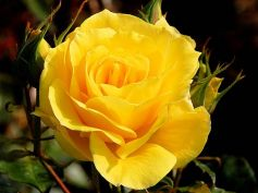 Gardening Tips For Yellow Rose Plants