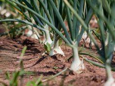 Grow Green Onions