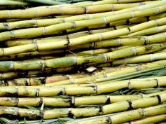 Significance Of Sugarcane Harvest Festival