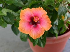 Best Tips On Hibiscus Plant Care