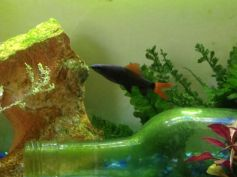 Decoration In Tanks - The Rainbow shark