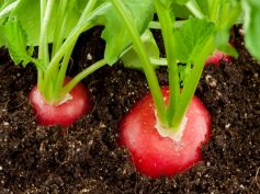 Best Tips To Grow Radish In Containers