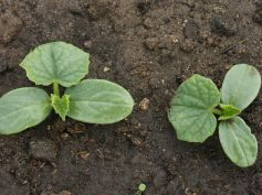 Planting Cucumber Seeds In Containers Tips