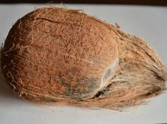 One-eyed Coconut