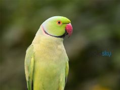 The Indian Ringneck