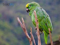 Yellow Naped Amazon