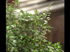 Top 5 Health Benefits Of Tulsi Leaves