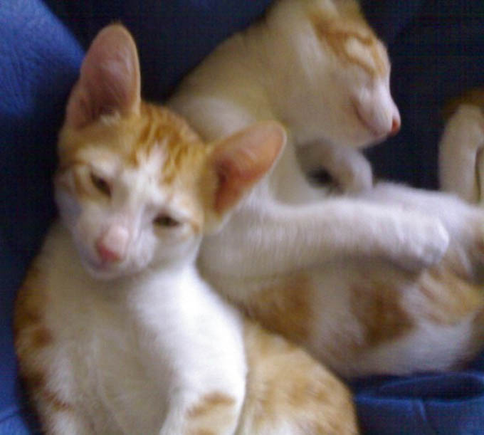 White Torro & Golden Kitty