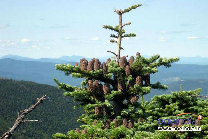 Types Of Live Christmas Trees Photos - Pics 229388 ...