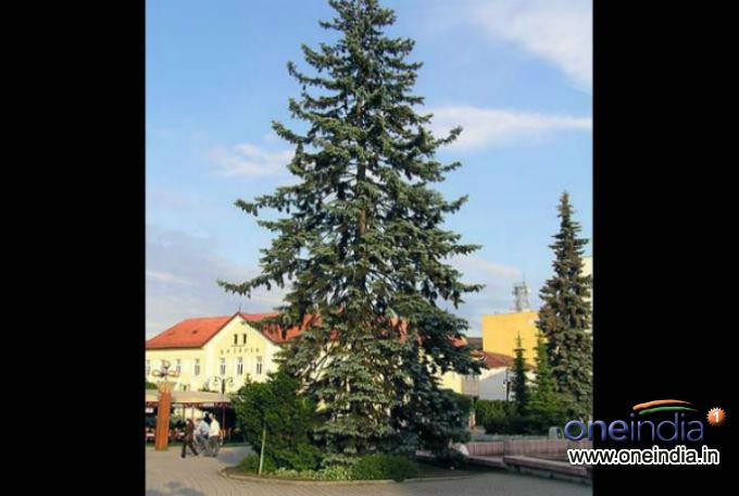 Types Of Live Christmas Trees Photos Pics 229386