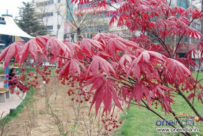10 Garden Plants With Red Leaves Photos Pics 230028