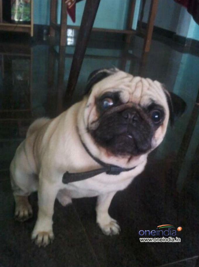 The Pug Named Popu