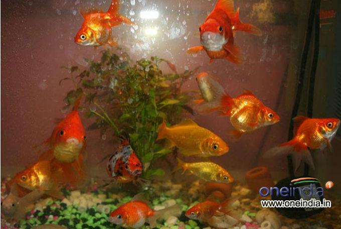 Types Of Goldfish For Your Aquarium Photos Pics 230661