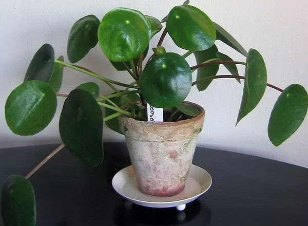 Easy to grow indoor plants photos pics 233088 boldsky for Indoor plants easy maintenance