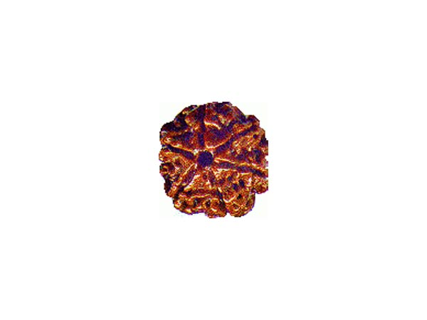 Interesting Facts About Rudraksha