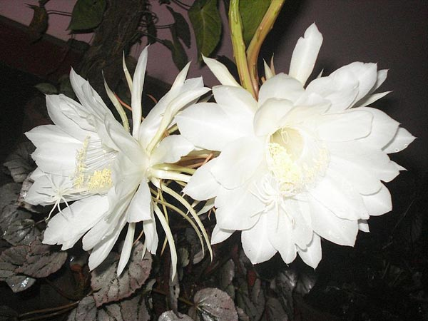 10 Night Blooming Flowers That Are White