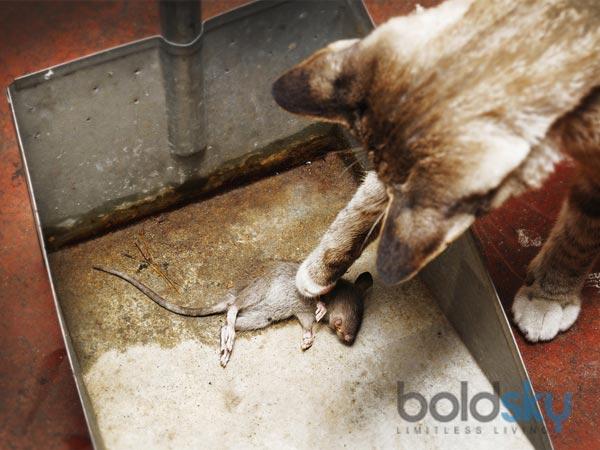 Ways To Kill Rats Naturally